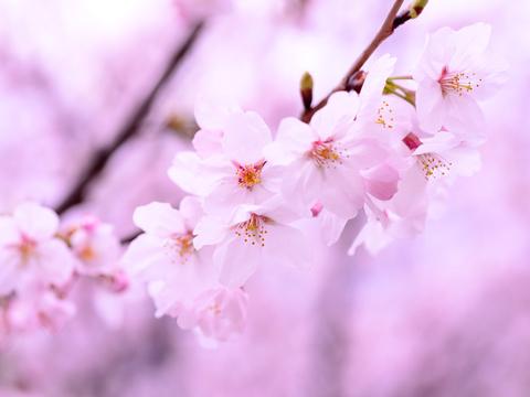 ピンク(桃色 Pink)のイメージ